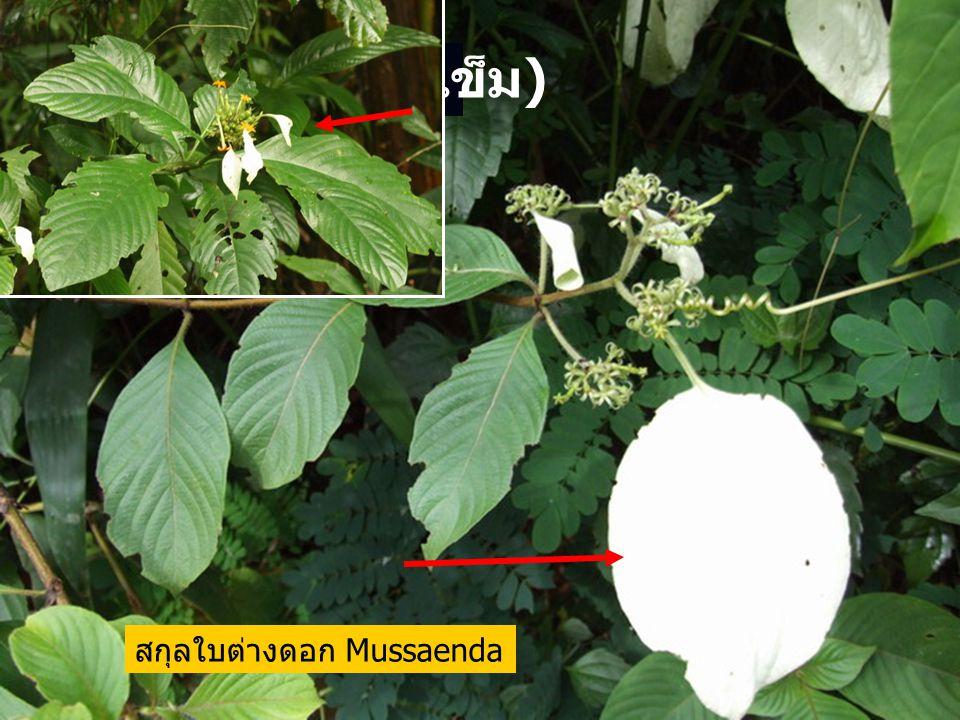 Rubiaceae ( วงศ์เข็ม ) สกุลใบต่างดอก Mussaenda