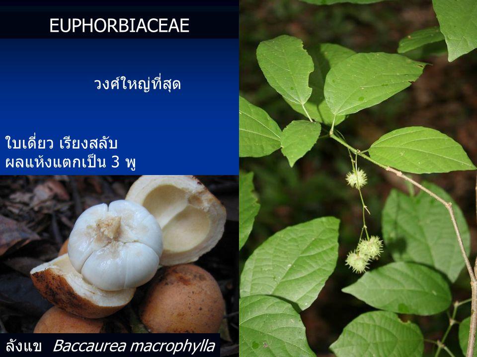 EUPHORBIACEAE วงศ์ใหญ่ที่สุด ใบเดี่ยว เรียงสลับ ผลแห้งแตกเป็น 3 พู ลังแข Baccaurea macrophylla