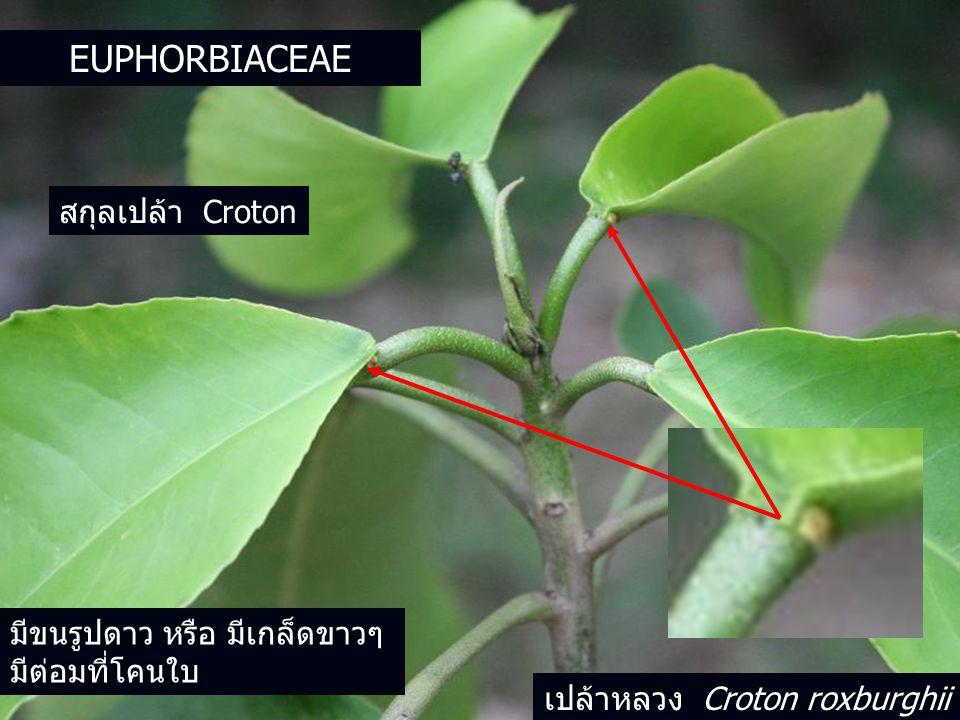 EUPHORBIACEAE สกุลเปล้า Croton มีขนรูปดาว หรือ มีเกล็ดขาวๆ มีต่อมที่โคนใบ เปล้าหลวง Croton roxburghii