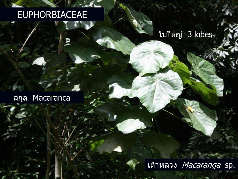 สกุล Macaranca ใบใหญ่ 3 lobes เต้าหลวง Macaranga sp. EUPHORBIACEAE