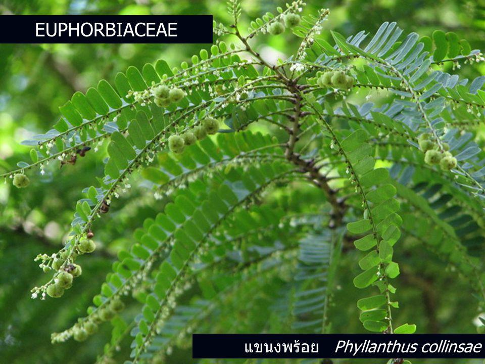 แขนงพร้อย Phyllanthus collinsae EUPHORBIACEAE