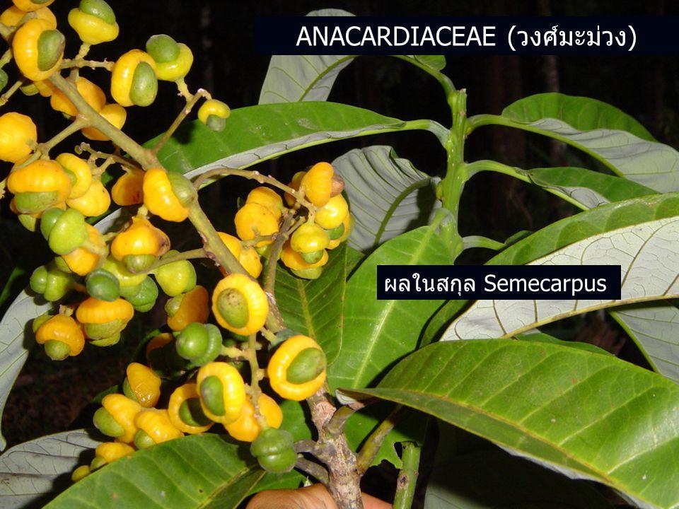ANACARDIACEAE (วงศ์มะม่วง) ผลในสกุล Semecarpus