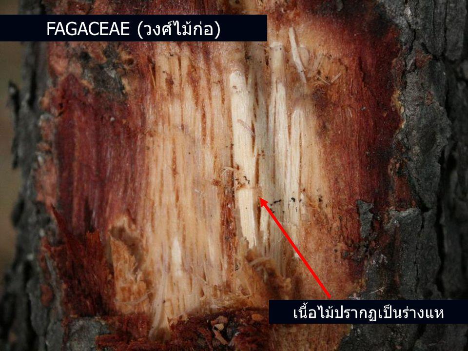 เนื้อไม้ปรากฏเป็นร่างแห FAGACEAE (วงศ์ไม้ก่อ)