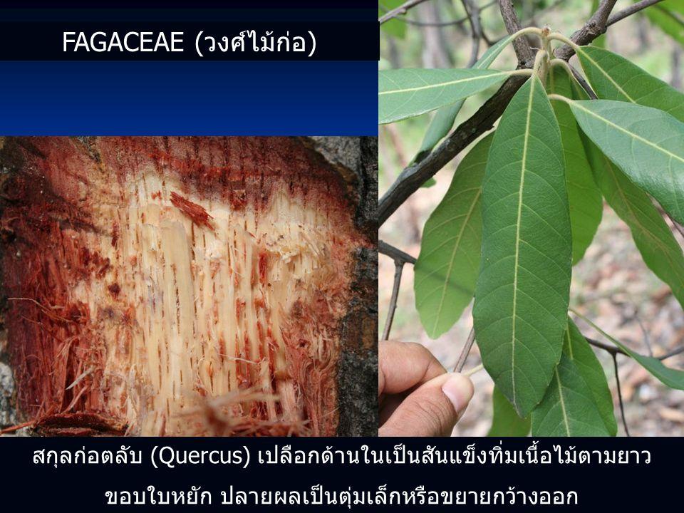 สกุลก่อตลับ (Quercus) เปลือกด้านในเป็นสันแข็งทิ่มเนื้อไม้ตามยาว ขอบใบหยัก ปลายผลเป็นตุ่มเล็กหรือขยายกว้างออก FAGACEAE (วงศ์ไม้ก่อ)