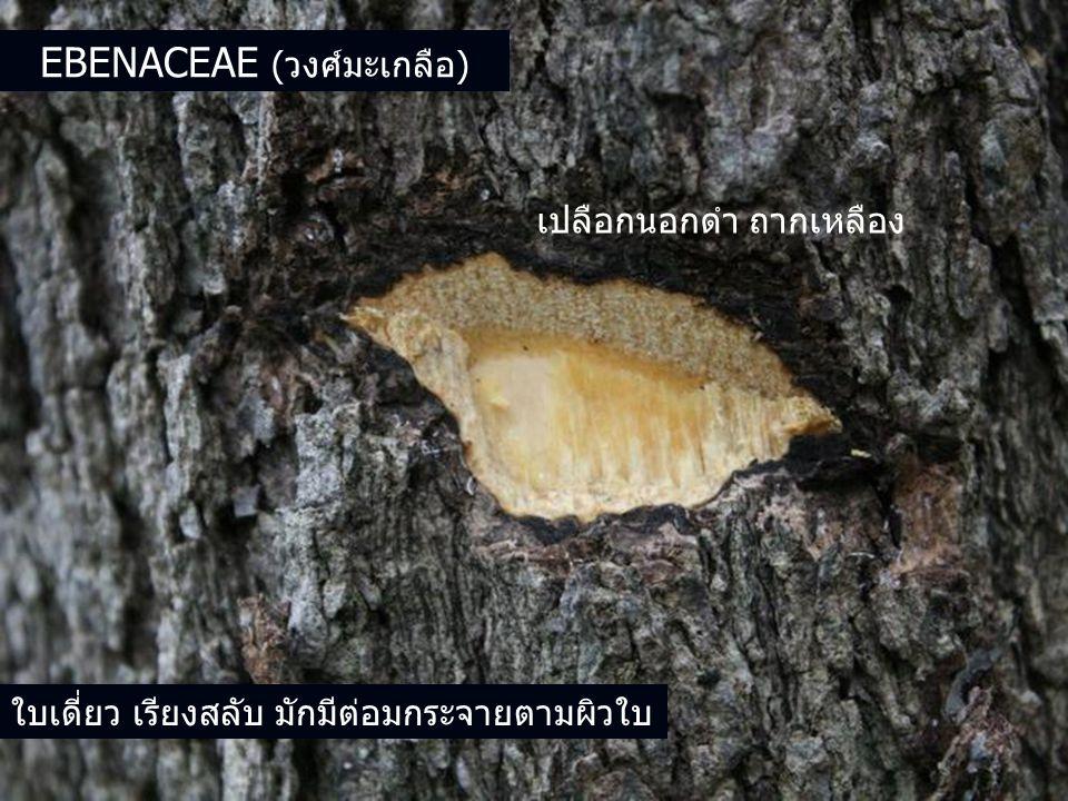 EBENACEAE (วงศ์มะเกลือ) เปลือกนอกดำ ถากเหลือง ใบเดี่ยว เรียงสลับ มักมีต่อมกระจายตามผิวใบ
