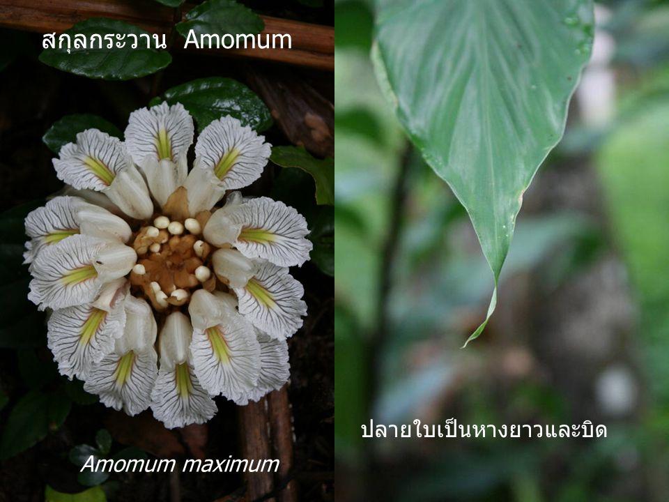 สกุลกระวาน Amomum ปลายใบเป็นหางยาวและบิด Amomum maximum