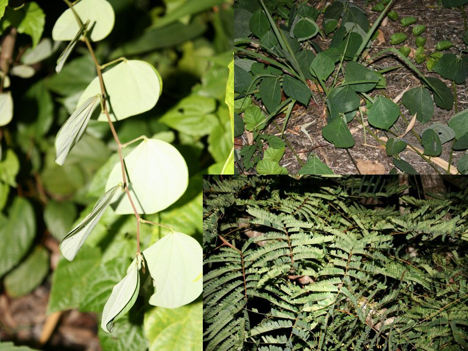 Leguminosae ( วงศ์ถั่ว ) มักจะหุบใบในตอนกลางคืน