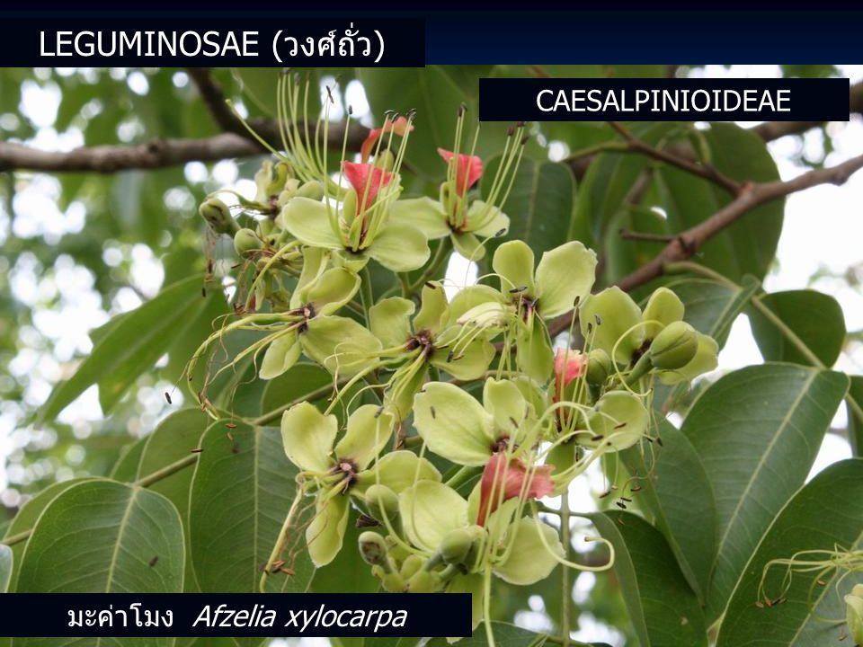 CAESALPINIOIDEAE มะค่าโมง Afzelia xylocarpa LEGUMINOSAE (วงศ์ถั่ว)