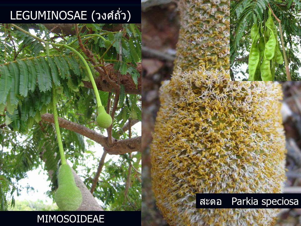 MIMOSOIDEAE สะตอ Parkia speciosa LEGUMINOSAE (วงศ์ถั่ว)