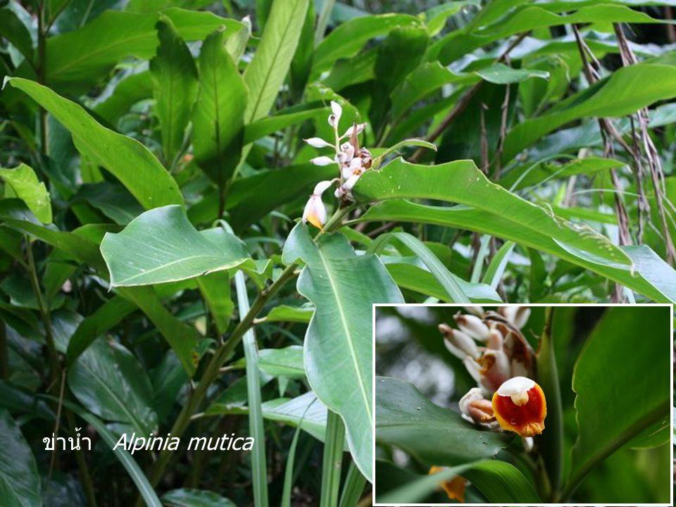 Drynaria sp. มีเหง้าทอดเลื้อย