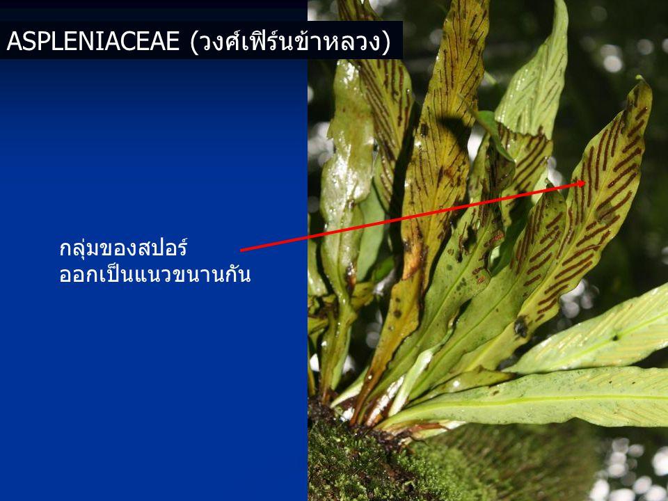 กลุ่มของสปอร์ ออกเป็นแนวขนานกัน ASPLENIACEAE (วงศ์เฟิร์นข้าหลวง)