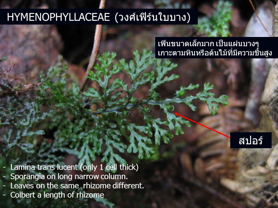 เฟินขนาดเล็กมาก เป็นแผ่นบางๆ เกาะตามหินหรือต้นไม้ที่มีความชื้นสูง - Lamina trans lucent (only 1 cell thick) - Sporangia on long narrow column.