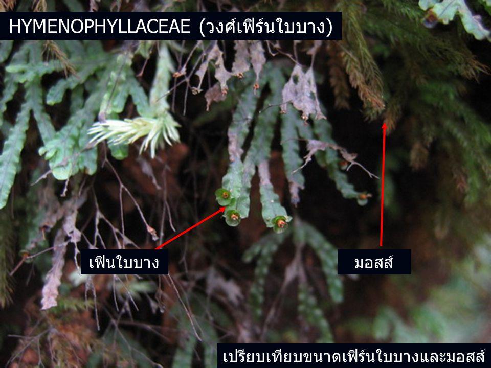 HYMENOPHYLLACEAE (วงศ์เฟิร์นใบบาง) มอสส์เฟินใบบาง เปรียบเทียบขนาดเฟิร์นใบบางและมอสส์