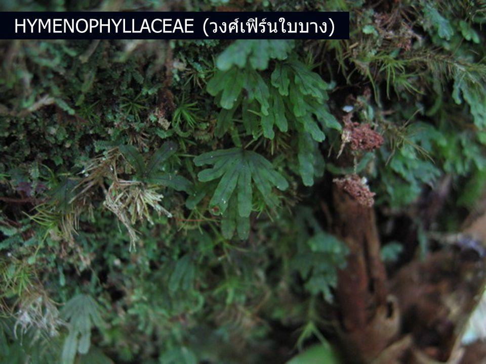 HYMENOPHYLLACEAE (วงศ์เฟิร์นใบบาง)