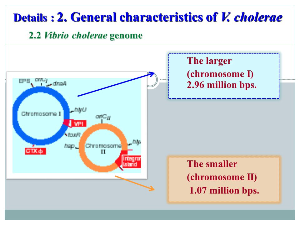 2.2 Vibrio cholerae genome The smaller (chromosome II) 1.07 million bps. The larger (chromosome I) 2.96 million bps. Details : 2. General characterist