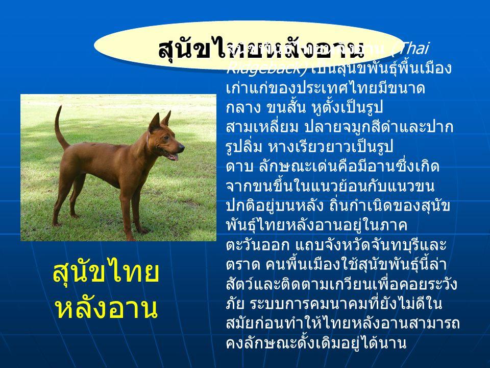 สุนัขไทยหลังอาน สุนัขไทย หลังอาน สุนัขพันธ์ไทยหลังอาน (Thai Ridgeback) เป็นสุนัขพันธุ์พื้นเมือง เก่าแก่ของประเทศไทยมีขนาด กลาง ขนสั้น หูตั้งเป็นรูป สามเหลี่ยม ปลายจมูกสีดำและปาก รูปลิ่ม หางเรียวยาวเป็นรูป ดาบ ลักษณะเด่นคือมีอานซึ่งเกิด จากขนขึ้นในแนวย้อนกับแนวขน ปกติอยู่บนหลัง ถิ่นกำเนิดของสุนัข พันธุ์ไทยหลังอานอยู่ในภาค ตะวันออก แถบจังหวัดจันทบุรีและ ตราด คนพื้นเมืองใช้สุนัขพันธุ์นี้ล่า สัตว์และติดตามเกวียนเพื่อคอยระวัง ภัย ระบบการคมนาคมที่ยังไม่ดีใน สมัยก่อนทำให้ไทยหลังอานสามารถ คงลักษณะดั้งเดิมอยู่ได้นาน