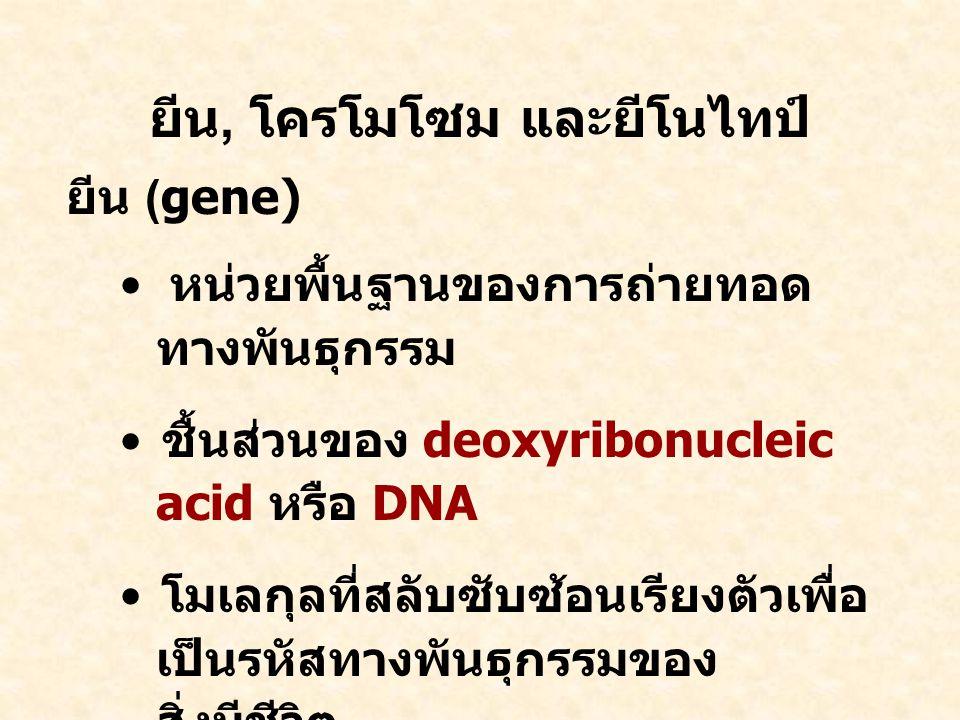 ยีน, โครโมโซม และยีโนไทป์ ยีน (gene) หน่วยพื้นฐานของการถ่ายทอด ทางพันธุกรรม ชื้นส่วนของ deoxyribonucleic acid หรือ DNA โมเลกุลที่สลับซับซ้อนเรียงตัวเพื่อ เป็นรหัสทางพันธุกรรมของ สิ่งมีชีวิต