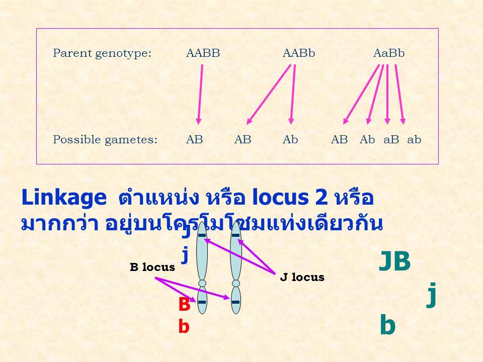 Parent genotype:AABBAABb AaBb Possible gametes:ABABAbAB Ab aB ab Linkage ตำแหน่ง หรือ locus 2 หรือ มากกว่า อยู่บนโครโมโซมแท่งเดียวกัน J locus B locus JjJj BbBb JB j b