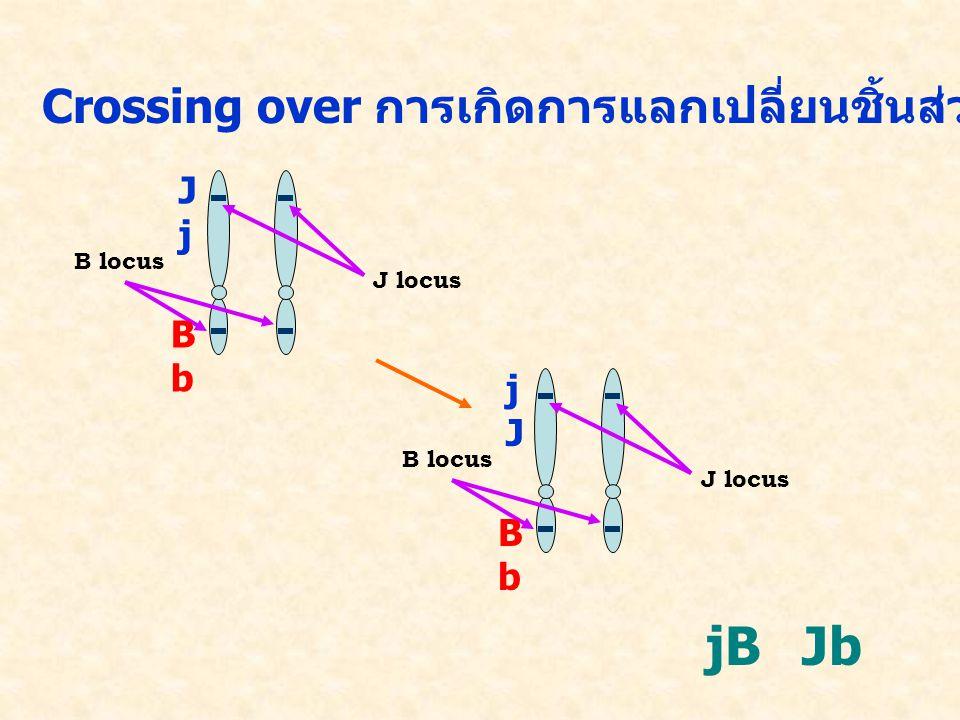 Crossing over การเกิดการแลกเปลี่ยนชิ้นส่วนของโครโมโซมที่เป็นคู่กัน J locus B locus JjJj BbBb J locus B locus jJjJ BbBb jBJb