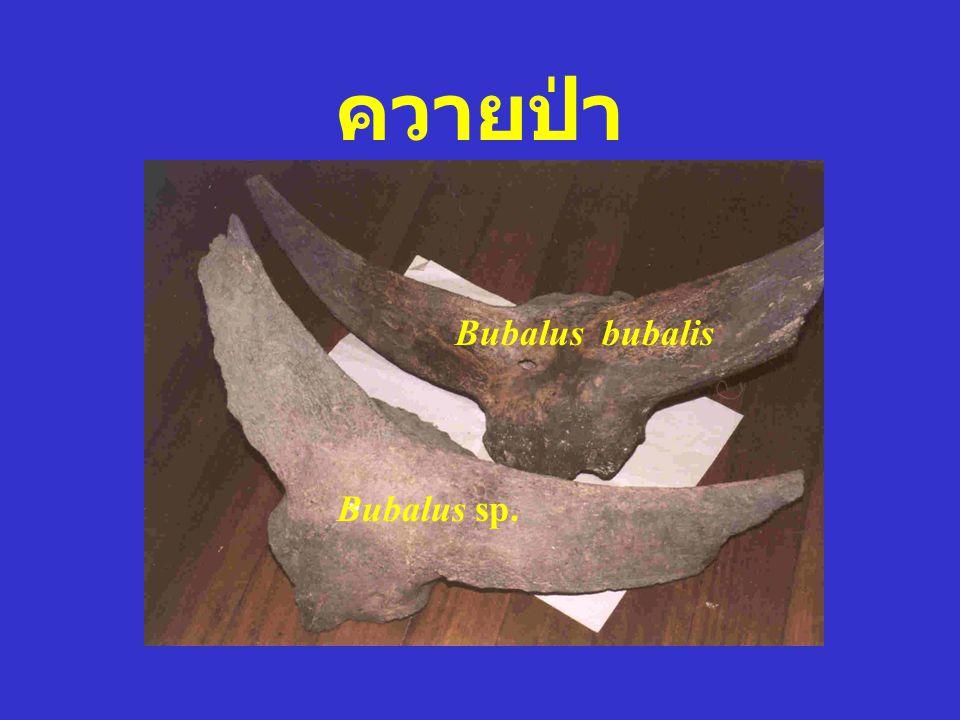 Bubalus bubalis Bos sp.