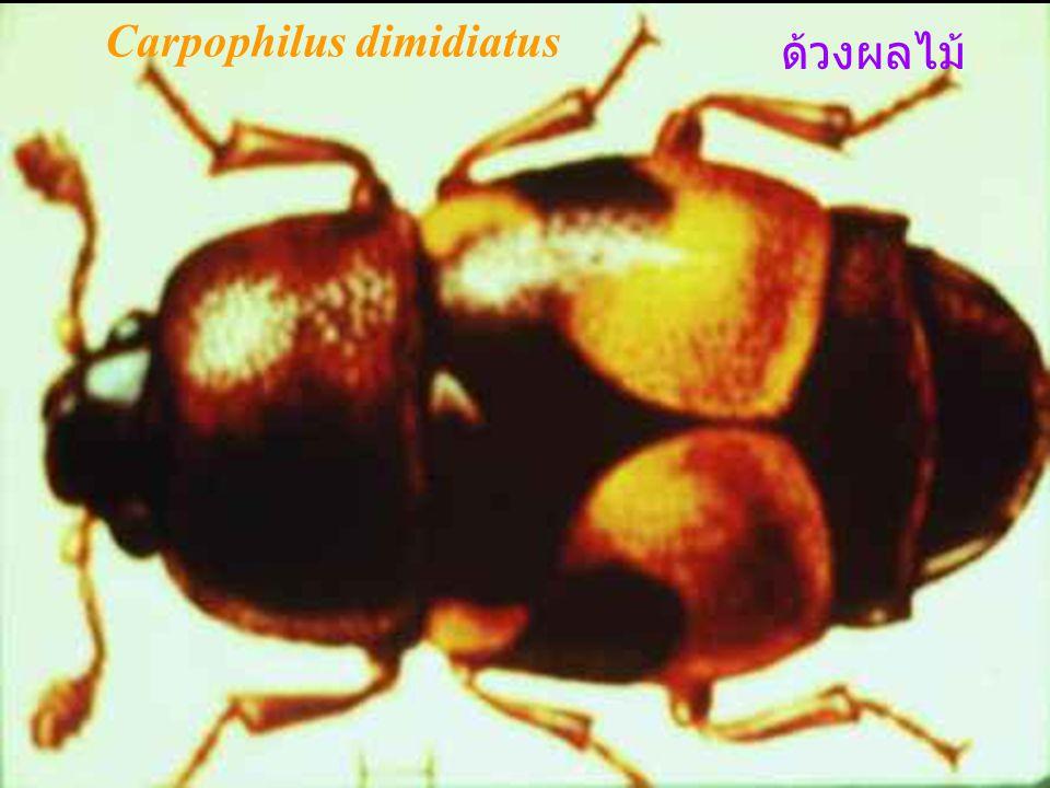 ด้วงขน สัตว์ เป็นแมลงขนาดเล็ก กินเนื้อ หนัง ขนสัตว์ เสื้อผ้า พรม เป็นศัตรูสำคัญ ของพิพิธภัณฑ์แมลง ตัวอ่อนและตัว แก่กินไข่ของตั๊กแตน จึงมี ความสำคัญทางเศรษฐกิจมาก Dermestes ladarius