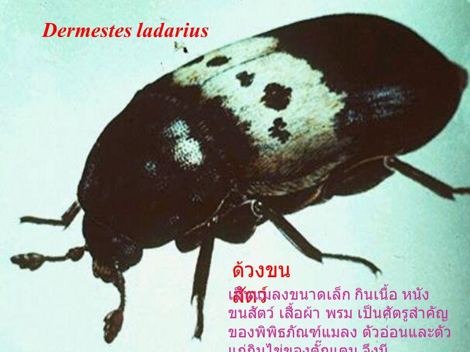 แมลง เหนี่ยง ลำตัวสีดำรูปไข่ ลักษณะ คล้ายด้วงน้ำ อาศัยในน้ำ นิ่ง ตัวเต็มวัยชอบแสงไฟ และซากเน่าเปื่อย Hydrophilus bilineatus