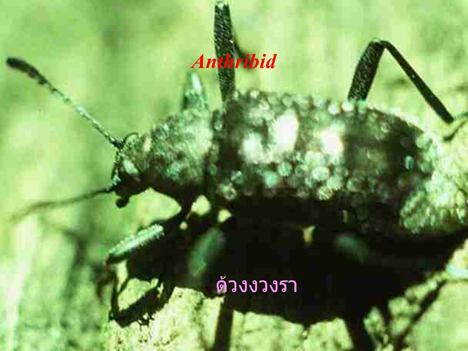 Lizard beetles Languriidae