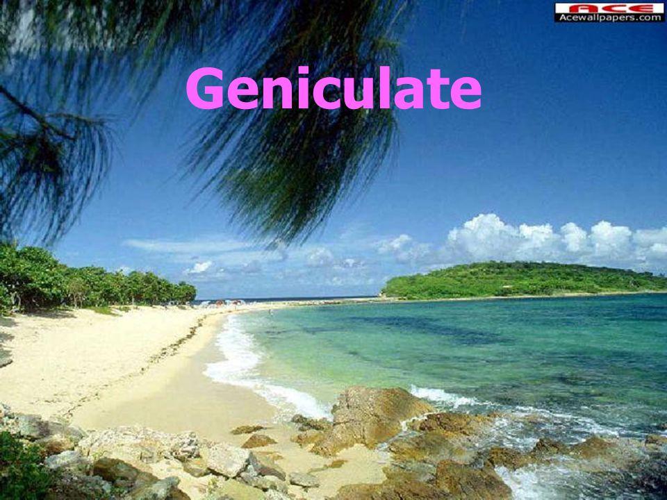 Geniculate
