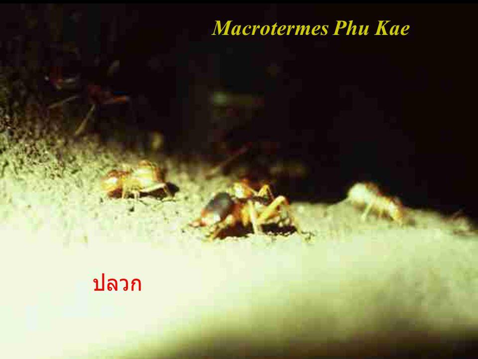 Rhizodidae