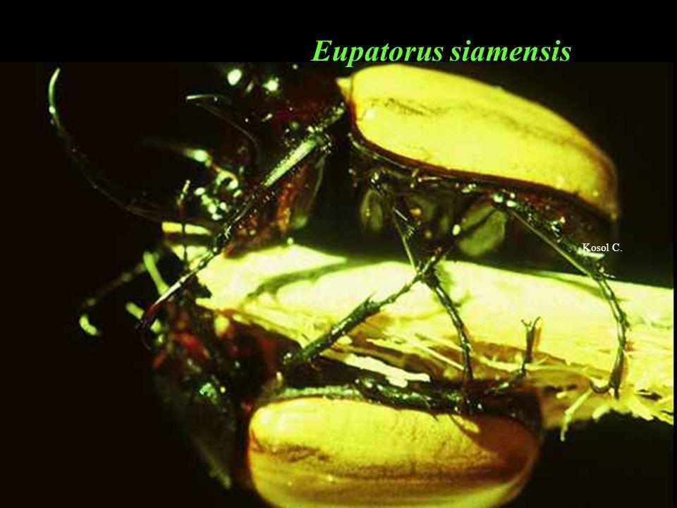 Scarabaeidae ด้วงกว่าง