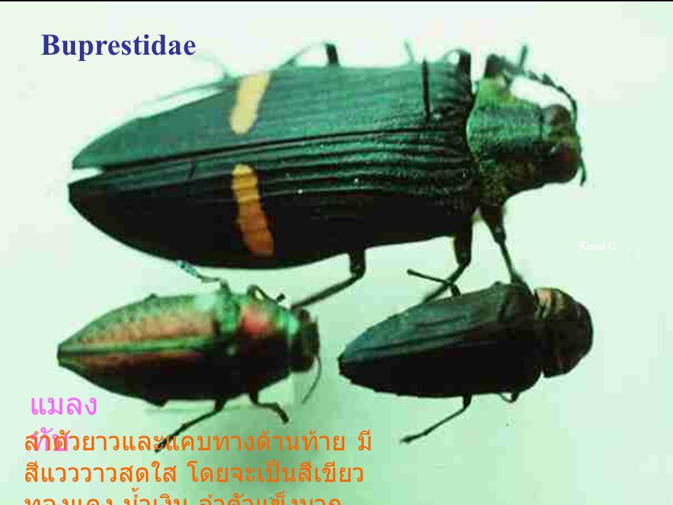 Cantarid Intanon dorsum Soldier beetles