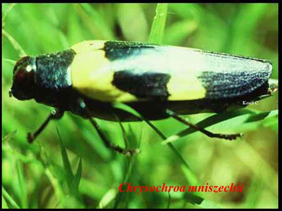 Chrysochroa opulenta opulentas