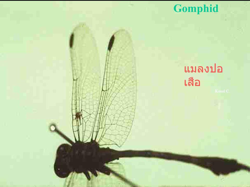 Libellago sp. แมลงปอ บ้าน