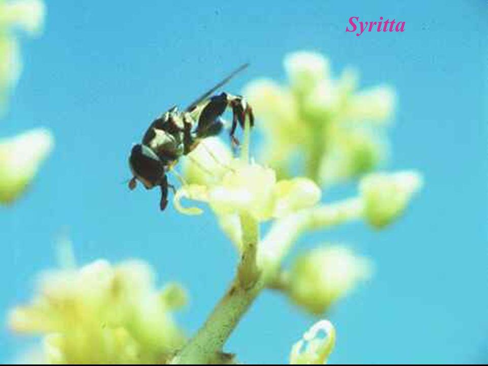 แมลงวัน ผลไม้ ทำลายผลของพืชผักต่าง ๆ เช่น แตงโม แตงกวา และ ผลไม้ต่าง ๆ เช่น ชมพู่ เงาะ กล้วย Bactrocera dorsalis