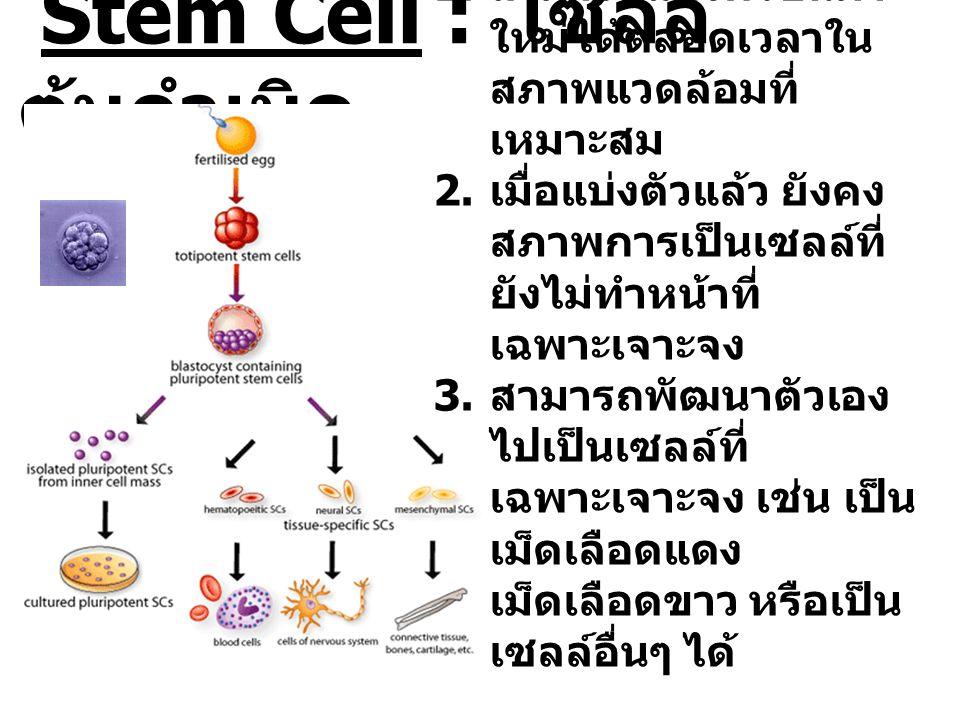 Stem Cell : เซลล์ ต้นกำเนิด 1. สามารถแบ่งตัวขึ้นมา ใหม่ได้ตลอดเวลาใน สภาพแวดล้อมที่ เหมาะสม 2. เมื่อแบ่งตัวแล้ว ยังคง สภาพการเป็นเซลล์ที่ ยังไม่ทำหน้า