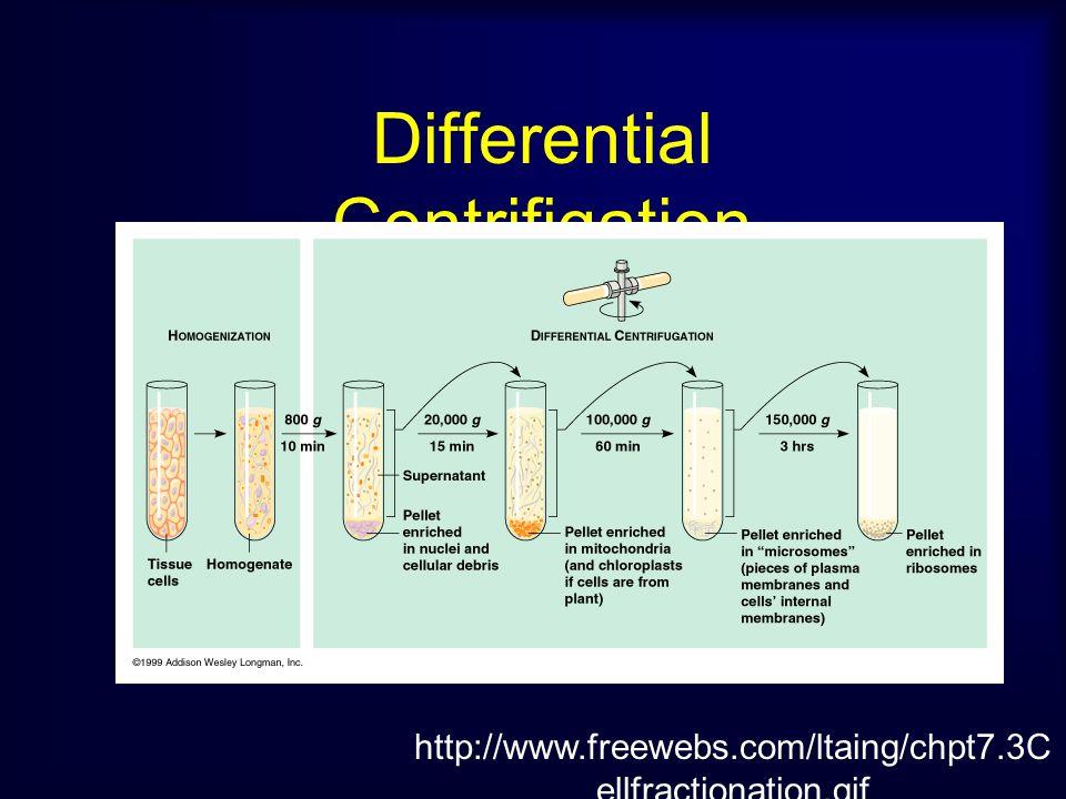 2.การแยกส่วนประกอบต่างๆ ออกจาก กัน (Separation of the homogenate) 1.