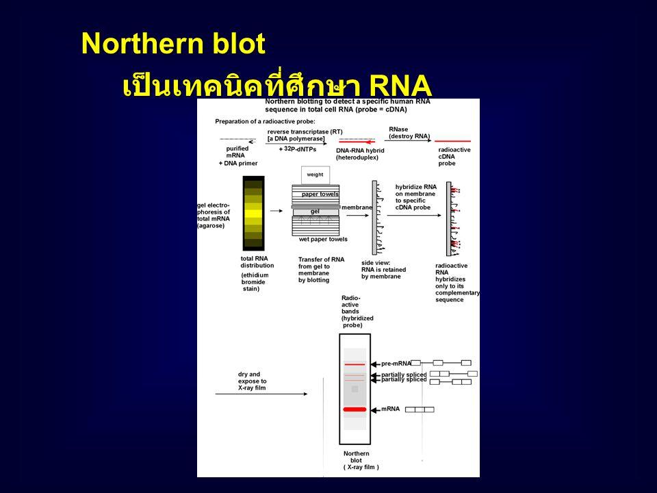 Southern blot เป็นเทคนิคที่ศึกษา DNA ที่ได้ทำการ แยกด้วย agarose gel electrophoresis