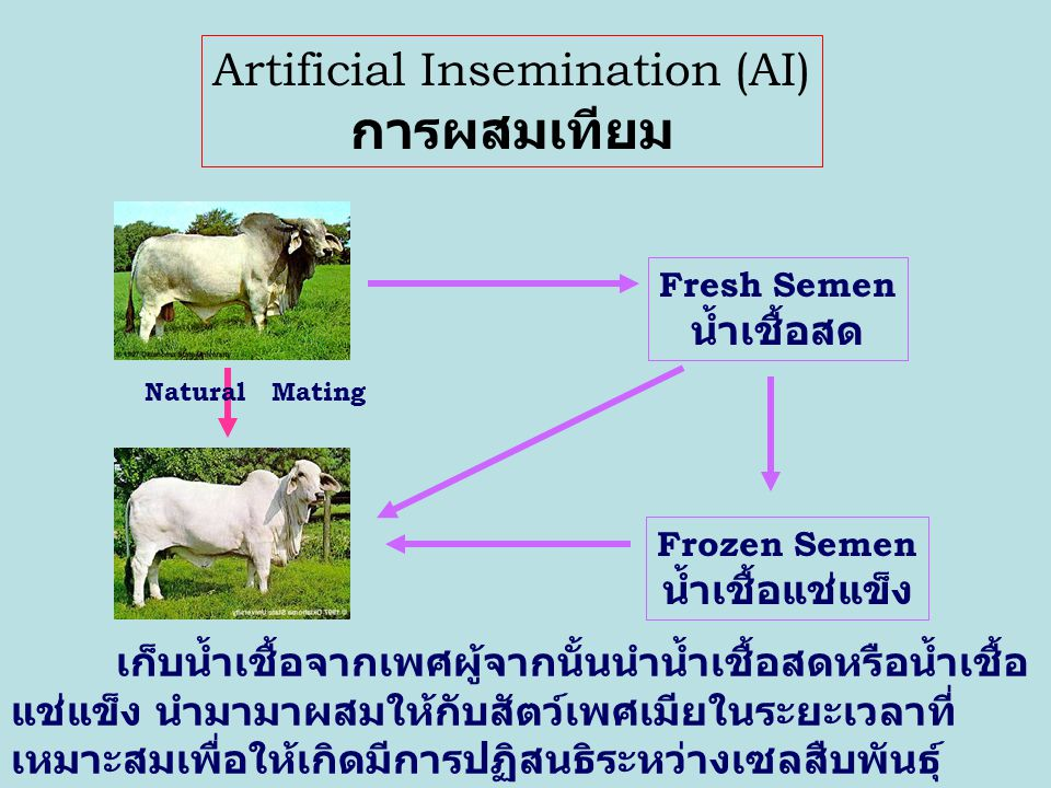 Estrus Synchronization การจัดการด้านฮอร์โมนกับกลุ่มของสัตว์ เพศเมีย เพื่อให้สัตว์เพศเมียเหล่านั้นแสดง อาการเป็นสัดหรือมีความพร้อมสำหรับการ ผสมพันธุ์พร้อมๆ กัน หรือในเวลาใกล้เคียงกัน Jan 20Jan 30Feb 10 Feb 20
