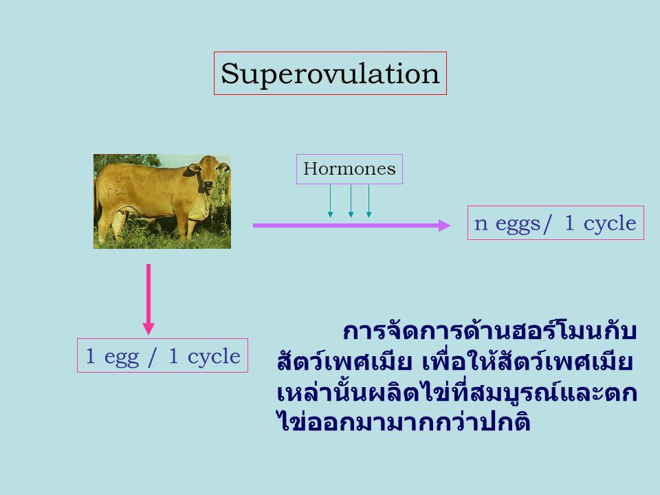 In Vitro Fertilization (IVF) การเก็บไข่ของสัตว์เพศเมียมาเพาะเลี้ยงและทำ ให้เกิดการปฏิสนธิกับเซลล์สืบพันธุ์ของสัตว์เพศผู้ที่ คัดเลือกในห้องปฏิบัติการหรือห้องทดลอง Egg Collection Elite Cow Laboratory Elite Bull Semen Collection Egg Sperm Fertilization ZygoteBlastocyst Embryo Development
