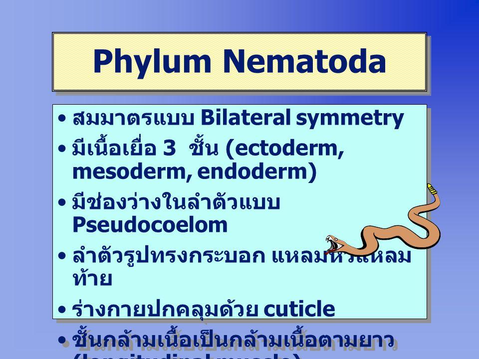 Phylum Nematoda สมมาตรแบบ Bilateral symmetry มีเนื้อเยื่อ 3 ชั้น (ectoderm, mesoderm, endoderm) มีช่องว่างในลำตัวแบบ Pseudocoelom ลำตัวรูปทรงกระบอก แหลมหัวแหลม ท้าย ร่างกายปกคลุมด้วย cuticle ชั้นกล้ามเนื้อเป็นกล้ามเนื้อตามยาว (longitudinal muscle) ระบบย่อยอาหารสมบูรณ์ มีปากและ ทวารหนัก สมมาตรแบบ Bilateral symmetry มีเนื้อเยื่อ 3 ชั้น (ectoderm, mesoderm, endoderm) มีช่องว่างในลำตัวแบบ Pseudocoelom ลำตัวรูปทรงกระบอก แหลมหัวแหลม ท้าย ร่างกายปกคลุมด้วย cuticle ชั้นกล้ามเนื้อเป็นกล้ามเนื้อตามยาว (longitudinal muscle) ระบบย่อยอาหารสมบูรณ์ มีปากและ ทวารหนัก