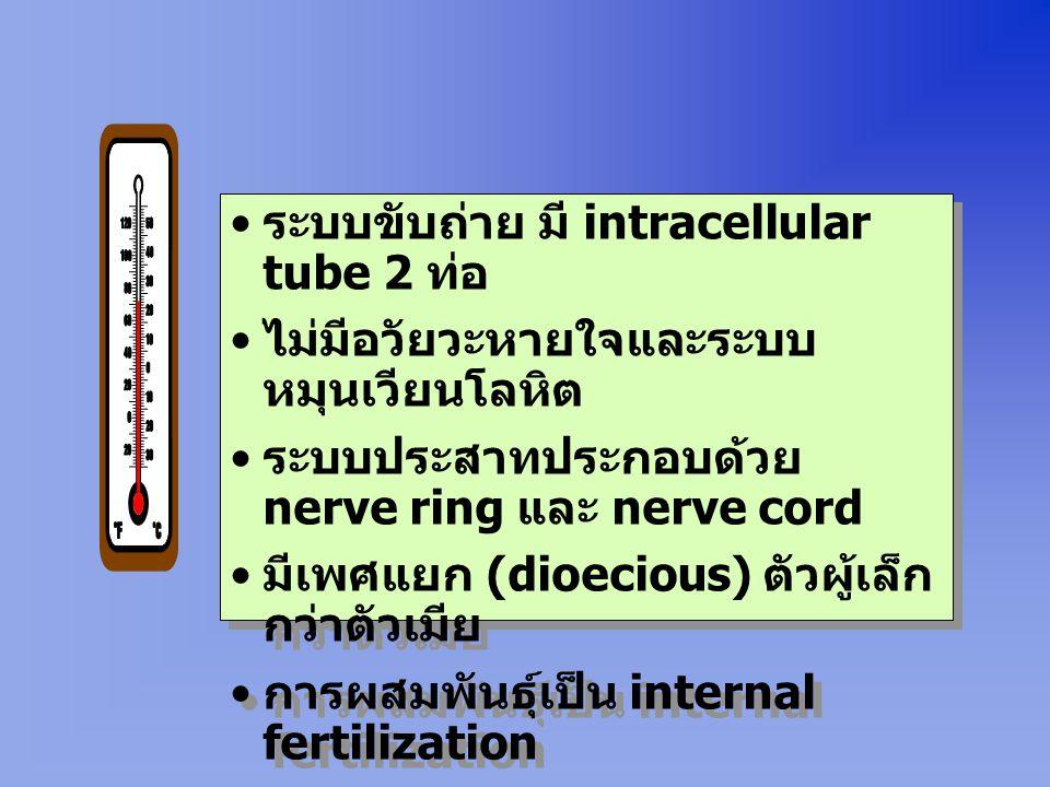 ระบบขับถ่าย มี intracellular tube 2 ท่อ ไม่มีอวัยวะหายใจและระบบ หมุนเวียนโลหิต ระบบประสาทประกอบด้วย nerve ring และ nerve cord มีเพศแยก (dioecious) ตัวผู้เล็ก กว่าตัวเมีย การผสมพันธุ์เป็น internal fertilization ระบบขับถ่าย มี intracellular tube 2 ท่อ ไม่มีอวัยวะหายใจและระบบ หมุนเวียนโลหิต ระบบประสาทประกอบด้วย nerve ring และ nerve cord มีเพศแยก (dioecious) ตัวผู้เล็ก กว่าตัวเมีย การผสมพันธุ์เป็น internal fertilization