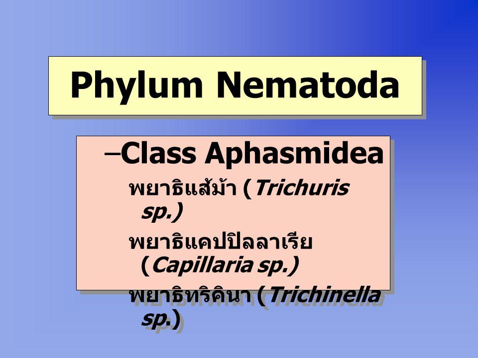 Phylum Nematoda –Class Aphasmidea พยาธิแส้ม้า (Trichuris sp.) พยาธิแคปปิลลาเรีย (Capillaria sp.) พยาธิทริคินา (Trichinella sp.) –Class Aphasmidea พยาธิแส้ม้า (Trichuris sp.) พยาธิแคปปิลลาเรีย (Capillaria sp.) พยาธิทริคินา (Trichinella sp.)