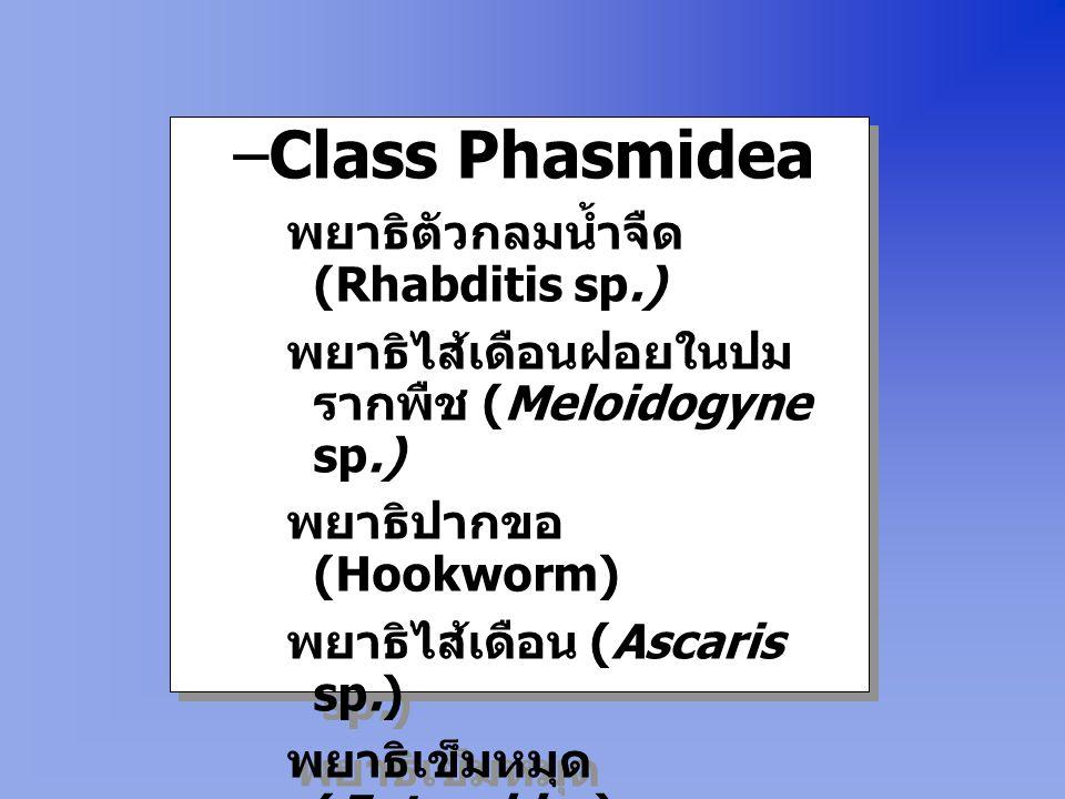 Phylum Nematoda –Class Aphasmidea พยาธิแส้ม้า (Trichuris sp.) พยาธิแคปปิลลาเรีย (Capillaria sp.) พยาธิทริคินา (Trichinella sp.) –Class Aphasmidea พยาธ