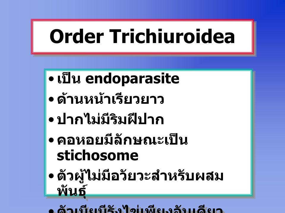 Order Trichiuroidea เป็น endoparasite ด้านหน้าเรียวยาว ปากไม่มีริมฝีปาก คอหอยมีลักษณะเป็น stichosome ตัวผู้ไม่มีอวัยวะสำหรับผสม พันธุ์ ตัวเมียมีรังไข่เพียงอันเดียว เป็น endoparasite ด้านหน้าเรียวยาว ปากไม่มีริมฝีปาก คอหอยมีลักษณะเป็น stichosome ตัวผู้ไม่มีอวัยวะสำหรับผสม พันธุ์ ตัวเมียมีรังไข่เพียงอันเดียว