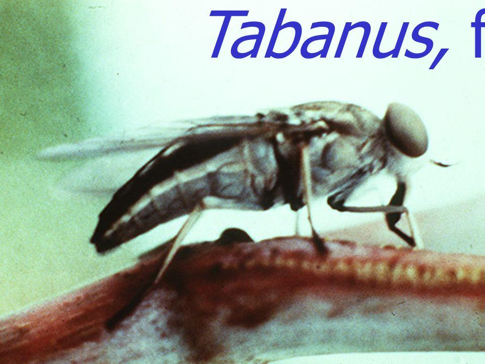 Tabanus, female