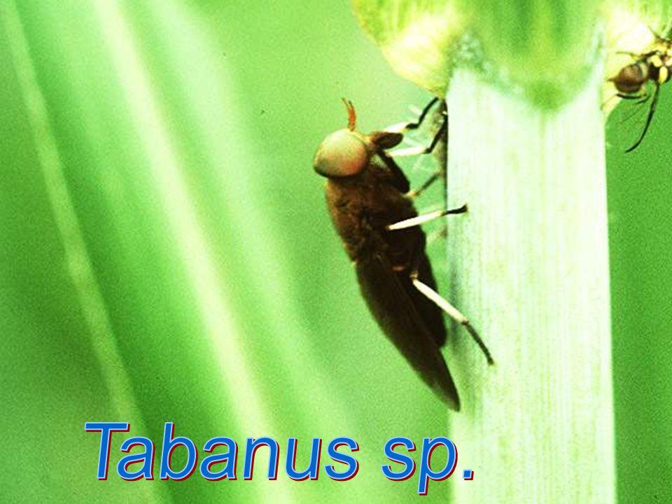 Tabanus sp. female
