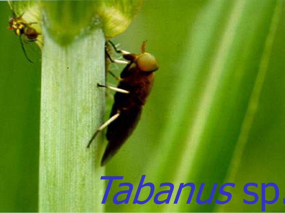 Tabanus sp. Male
