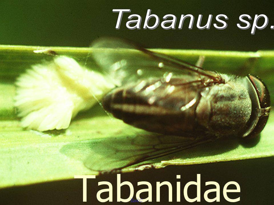 Tabanus eggs