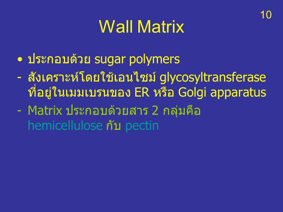 Wall Matrix ประกอบด้วย sugar polymers -สังเคราะห์โดยใช้เอนไซม์ glycosyltransferase ที่อยู่ในเมมเบรนของ ER หรือ Golgi apparatus -Matrix ประกอบด้วยสาร 2