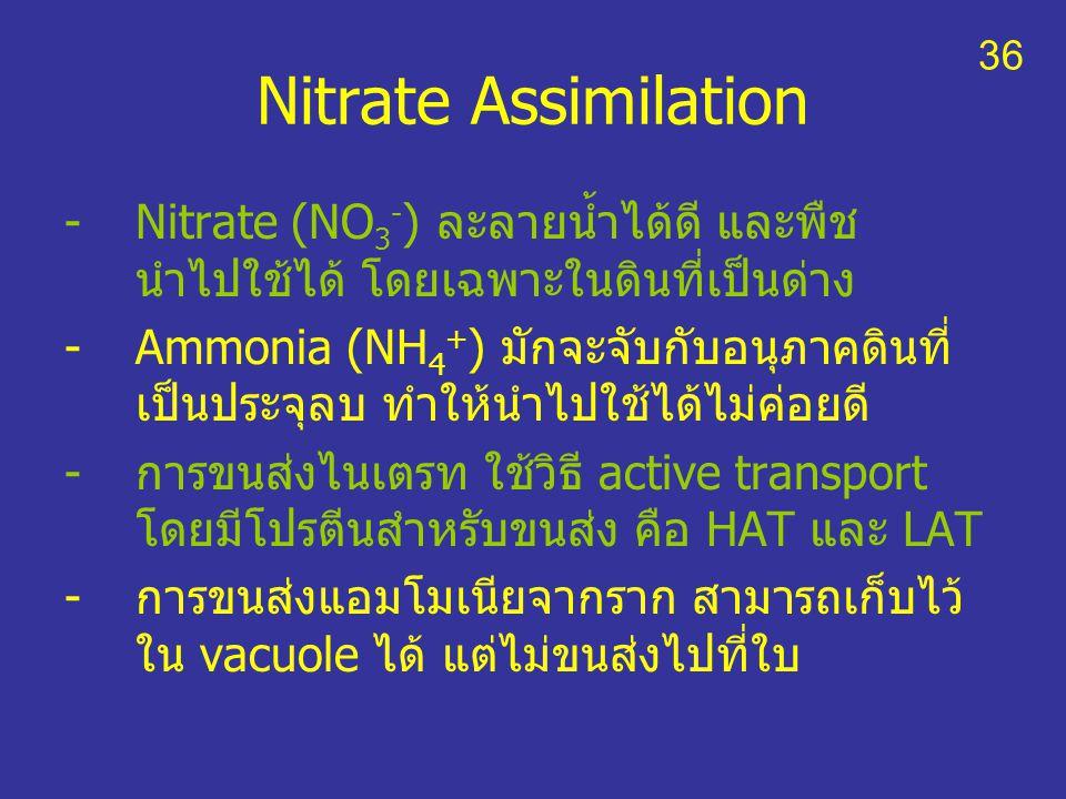 Nitrate Assimilation -Nitrate (NO 3 - ) ละลายน้ำได้ดี และพืช นำไปใช้ได้ โดยเฉพาะในดินที่เป็นด่าง -Ammonia (NH 4 + ) มักจะจับกับอนุภาคดินที่ เป็นประจุล